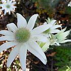 Flannel Flowers by WeblightStudio