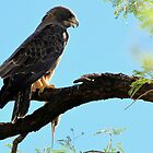 Swainson's Hawk by Kimberly Chadwick