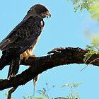 Swainson's Hawk by Kimberly Chadwick