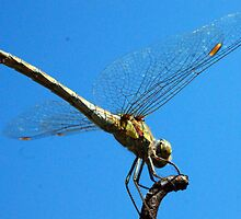 Dragonfly in France by Lee Hallam