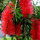 Red Bottle Brush, Australia by ange2