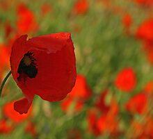 Poppyland by Beverley Barrett
