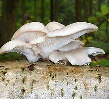 Oyster Mushroom, Pleurotus ostreatus  by Quasebart