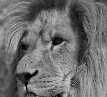 B&W Lion by suffolkwildlife