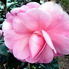 Delicate Pink Camelia by Graeme  Hyde