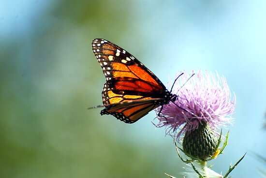 A Monarch Butterfly by barnsis