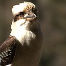 Kookaburra Dreaming by Vikki Shedden Photography
