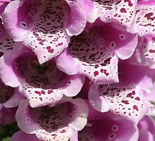 Pink Foxgloves by John Dalkin