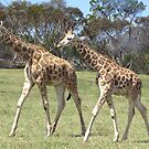 Giraffes - right, we'll go this way then! by georgiegirl