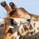 Giraffes - close up and personal by georgiegirl