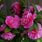 Pink Camellias at Starbuck&#x27;s. by Marjorie Wallace