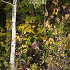 Black Bear Eating Berries by cavaroc