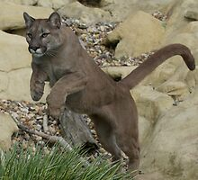 Puma Leaping by DeeEss