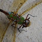 dragonfly photo 2 by Raina DeVaney
