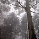 A BLUE-GUM TREE - in the mist by Magaret Meintjes