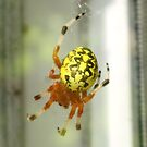 Marbled Orbweaver by teresa731