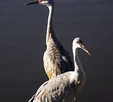 Sandhill Crane and Juvenile by dgrimmy