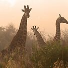 Giraffe in the misted sunrise by jozi1