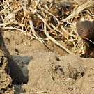 Dwarf mongoose on termite mound by jozi1