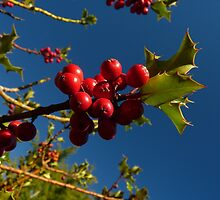 Holly Berries at Kubota Gardens by MischaC