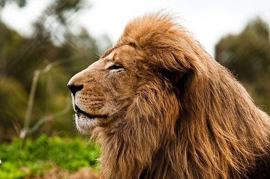 Lion at Werribee II-1 by Tom Newman