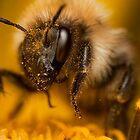 Common carder bumblebee (Bombus pascuorum) by DavidKennard