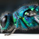 Jeweled Wasp Detailed shot by Carl Reid