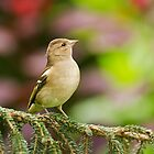 Chaffinch on Pine by kernuak