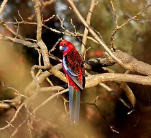 Crimson Rosella by Robert Jenner