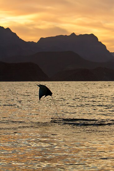 Spinetailed Mobula Leaping at Sunset by Michael S Nolan