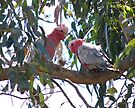 Having a chat - A pair of Galahs by Ian Berry