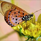 BUTTERFLIES SERIES - NATAL ACRAEA - Acraea natalica by Magaret Meintjes