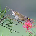 Yellow Faced Honeyeater at Walka Waterworks - Maitland by Alwyn Simple