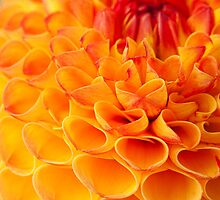 Harvest Time is Dahlia Time by Marilyn Cornwell