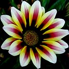 Garden Pleasures - Multi Coloured Gazania / Gousblom by Mariaan Maritz Krog Photos & Digital Art