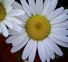 Garden Pleasures - Two Daisies / Twee Madeliefies  by Mariaan Maritz Krog Photos & Digital Art