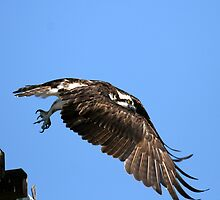 Osprey Wings Forward by DARRIN ALDRIDGE