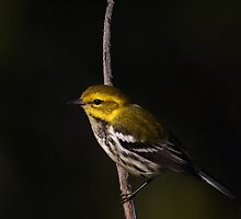 Black-throated green warbler by Jim Cumming