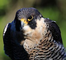 Portrait of the Peregrine Falcon by animals
