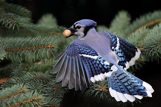 They Work For Peanuts / Bluejay by Gary Fairhead