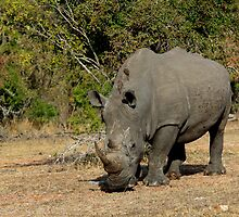 White Rhino Grazing 2 by Aldi221