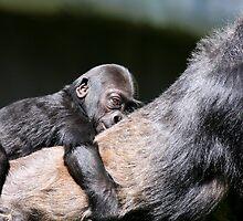Through the Eyes of Baby Gorilla Hasani by animals