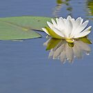 Pure Reflection Waterlily by lilcanuk