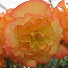 Large Orange Yellow Bloom by PoetCRS