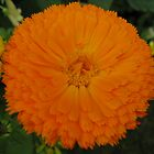 Orange Chrysanthemum by PoetCRS