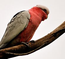 Bird, Cocky Profile by photoj