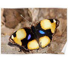 African Butterfly Series - FEMALE YELLOW PANSY - Genus Junonia,   Pansies Poster