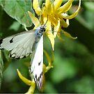BUTTERFLY SERIES : Forest White _Belenois zochalia zochalia_ by Magaret Meintjes