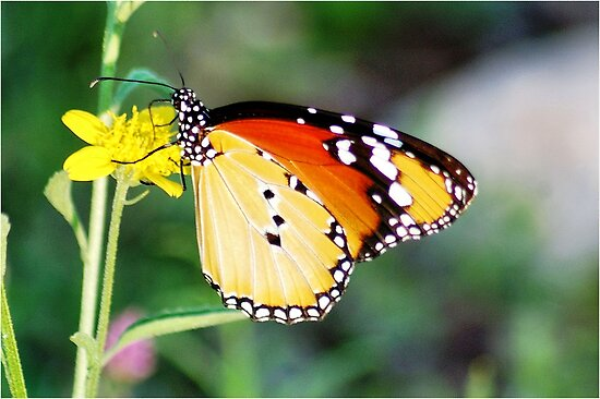 """BUTTERFLY"" AFRICAN MONARCH - *Danaus chrysippus aegyptius* by Magaret Meintjes"