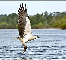 Sea Eagle Fishing by John Van-Den-Broeke